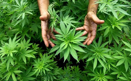 План конопля фото от марихуаны болит живот